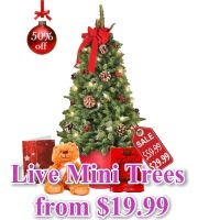 Live Mini Christmas Trees