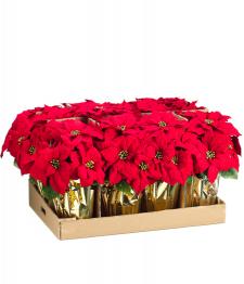 "Bulk Poinsettia - 6"" Pots"
