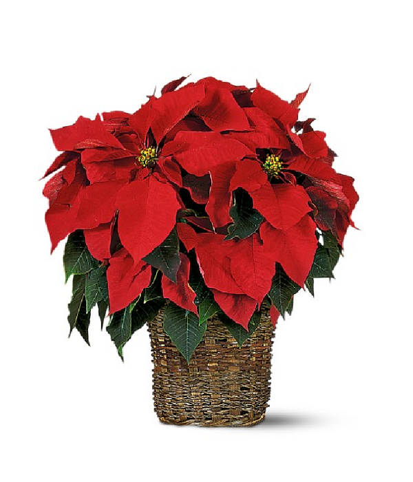 poinsettia basket elegant baskets bloomex flowers christmas gift flower holiday canada