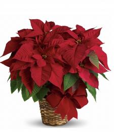 Deluxe Poinsettia Basket