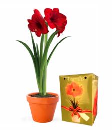 Potted Amaryllis Plant