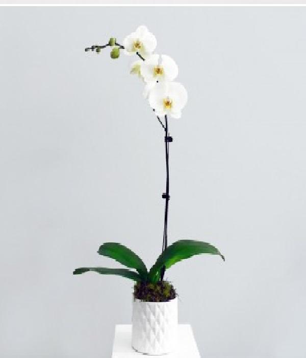 La seule orchidée