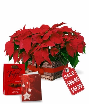 Double Poinsettia Basket Special