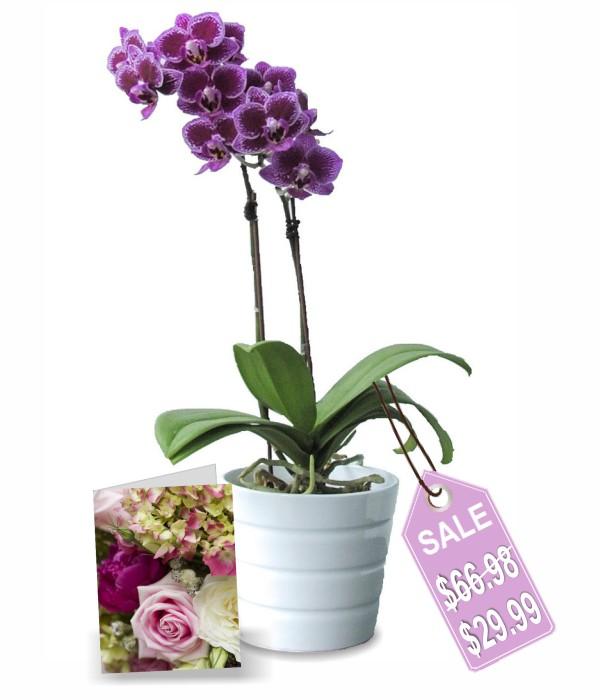 classique orchidée en pot I