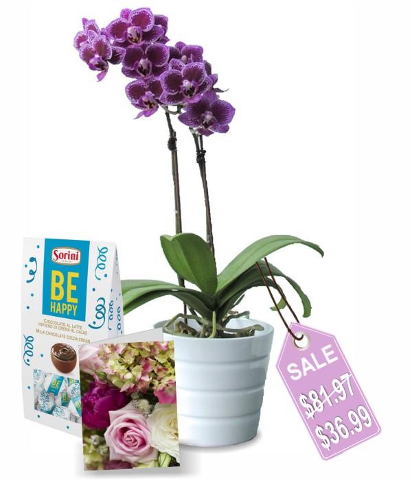 classique orchidée en pot II